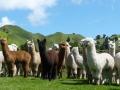 Our-Alpacas