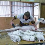 Shearing-C