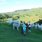 Alpacas coming up to greet us on the trek