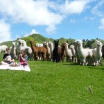 Enjoying a picnic with the alpacas