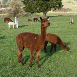Nevalea Juliet & Cria